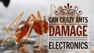 Can Crazy Ants Damage Electronics