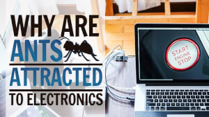 Why are Ants Attracted to Electronics