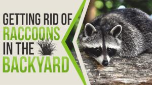 Getting Rid of Raccoons in the Backyard