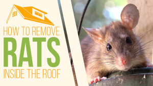 How to Remove Rats Inside the Roof