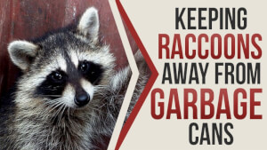 Keeping Raccoons away from Garbage Cans