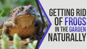 Getting Rid of Frogs in the Garden Naturally