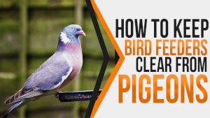 How to Keep Bird Feeders Clear from Pigeons