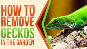 How to Remove Geckos in the Garden