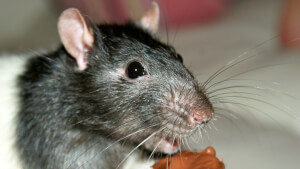 Winter Pest: How to Rodent Proof your House