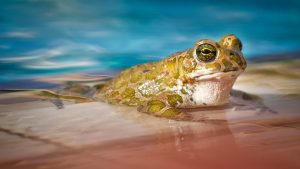 Swimming Frog In Pool