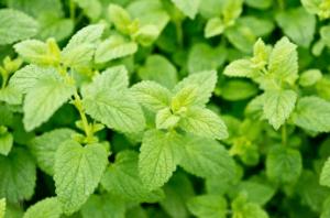 Lemon Balm Repels Mosquitoes