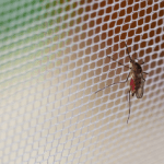 Mosquitoes hanging on the net