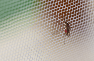 Mosquitoes hanging on net