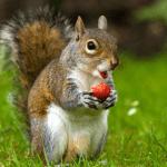 Squirrel Holding Strawberry