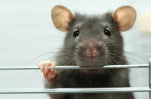 Rat Rodents