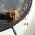 Fastest way to Get rid of ants in car