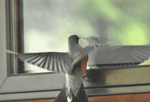 A Bird is Pecking the Window