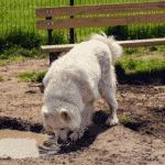 Giardia Giardiasis Dogs