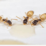 How to get rid of Ghost Ants